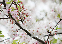 Gorgeous white cherry blossom branch blossoming in spring - Free stock photo.
