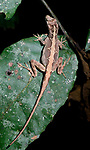 Brown Anole, Anolis sagrei, Belize, on leaf in jungle