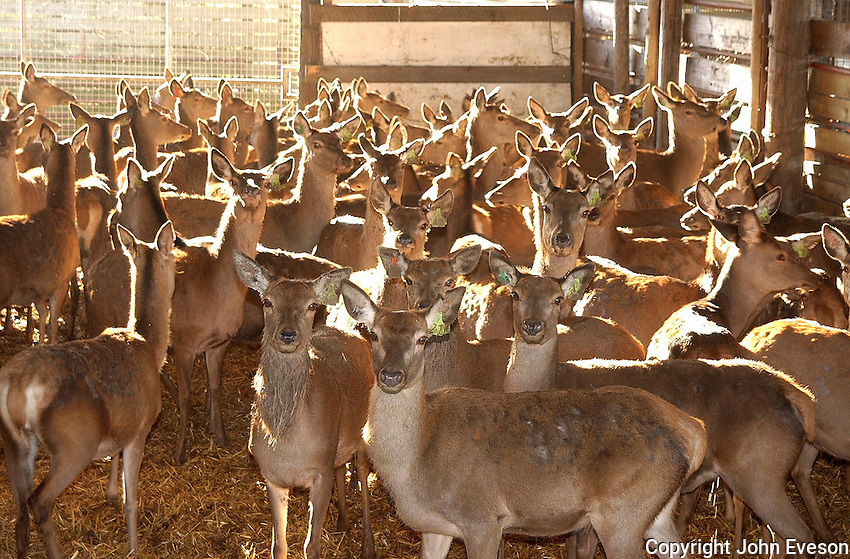 Red Deer hinds indoors, Melton Mowbray, Leicestershire.