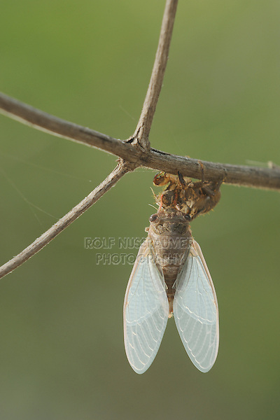 Hieroglyphic Cicada (Neocicada hieroglyphica), adult newly emerged from nymph skin, New Braunfels, San Antonio, Hill Country, Central Texas, USA