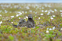 Adult Black Turnstone (Arenaria melanocephala) with newly hatched chick on its back. Yukon Delta National Wildlife Refuge, Alaska. July.