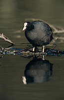 Eurasian Coot, Fulica atra,adult, Luzern, Switzerland, April 1995