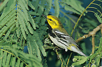 Black-throated Green Warbler, Dendroica virens, male, Convention Center, South Padre Island, Texas, USA, May 2005