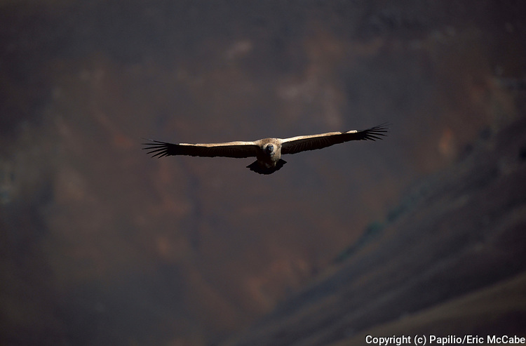 Cape Vulture, flying, in flight, Gyps coprotheres, K. Natal,