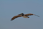 Brown Pelican, Pelecanus occidentalis, in flight against blue sky, flying. .USA....