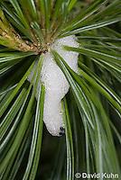 0819-0901  Pine Spittlebug Nymph, Spittlebug foam home, Aphrophora cribrata © David Kuhn/Dwight Kuhn Photography