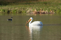 American White Pelican, Pelecanus erythrorhynchos, swims on Upper Klamath Lake, Oregon