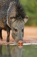 Collared Peccary, Javelina (Tayassu tajacu), adult drinking, South Texas, USA