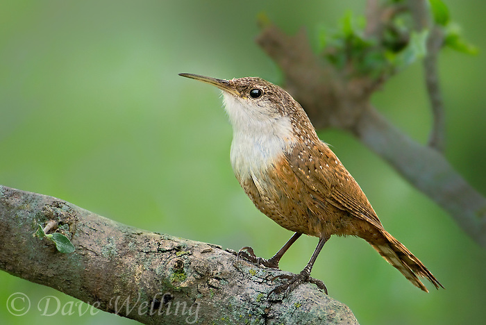 598070005 a wild canyon wren catherpes mexicanus perches on a large tree branch on a private ranch in the hill country of central texas