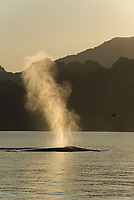 Fin whale (balaenoptera physalus) The blow of a fin whale. Gulf of California., Baja California, Mexico, Pacific Ocean