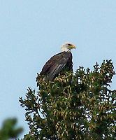 Bald Eagle perched in a tree at Fish Lake, Nordegg, Alberta