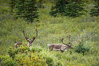 Bull Caribou in tundra in Denali National Park, Alaska  Summer<br /> <br /> Photo by Jeff Schultz/SchultzPhoto.com  (C) 2018  ALL RIGHTS RESERVED<br /> <br /> Amazing Views-- Into the wild photo tour 2018