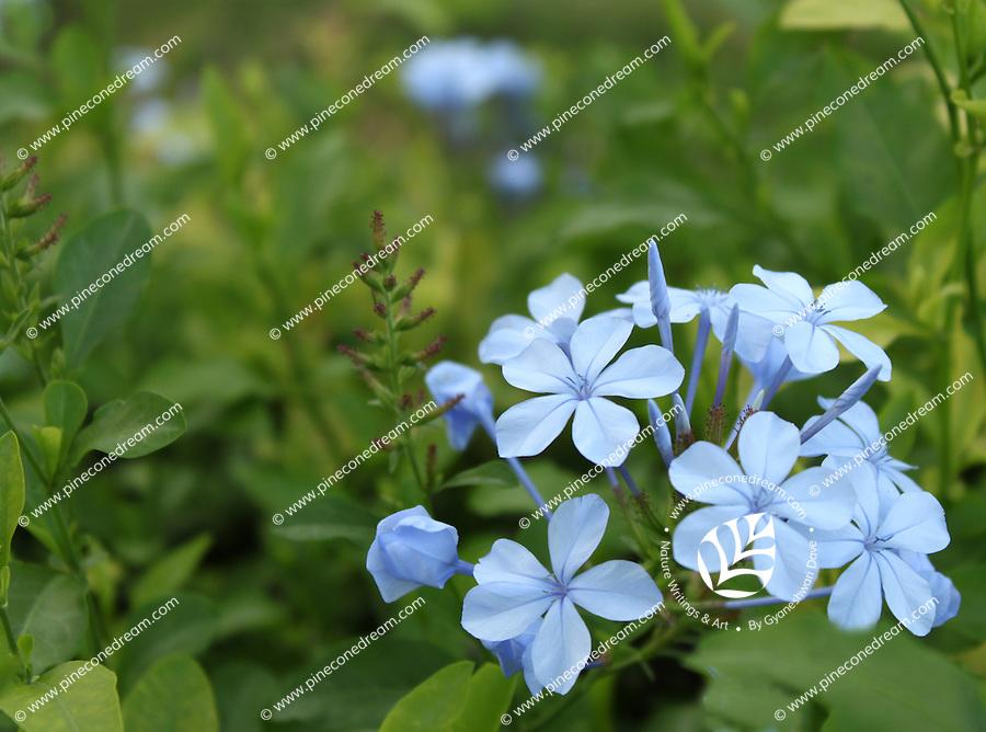 Fresh and stunning Plumbago flowers