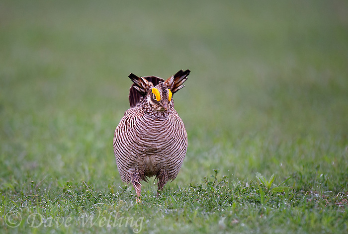 572110253 a wild lesser prairie chicken tympanuchus pallidicintus displays and struts on a lek on a remote ranch near canadian in the texas panhandle