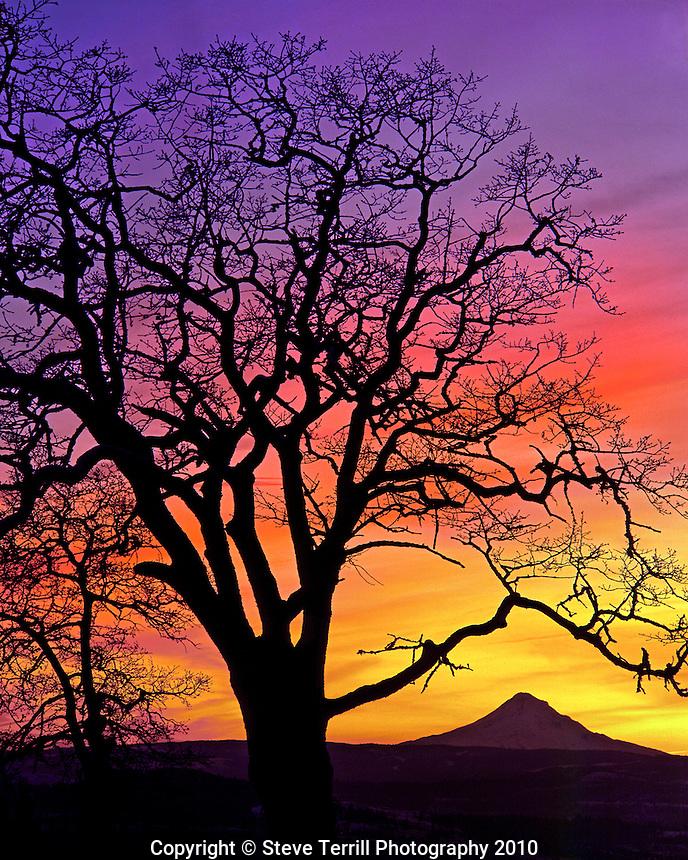 Oak tree framing Mt Hood at sunset taken from the upper hills of Lyle, Washington
