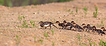 Hen hooded merganser leading her ducklings across some dry land between two bodies of water.