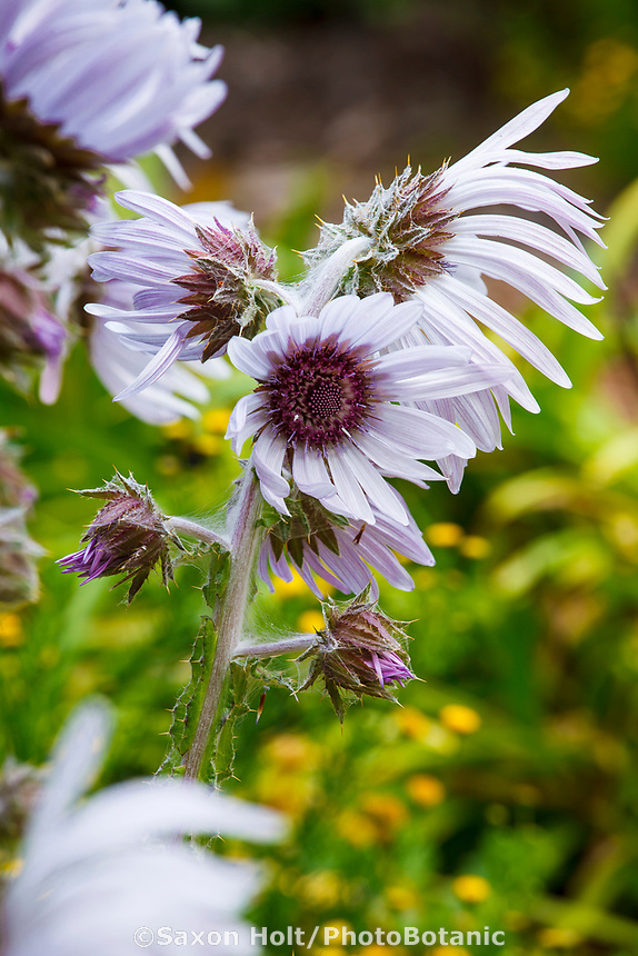 Berkheya purpurea 'Zulu Warrior' South African perennial flower in San Francisco Botanical Garden