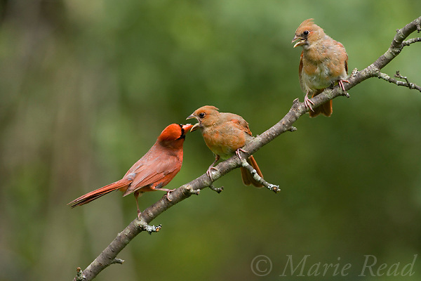 Northern Cardinal (Cardinalis cardinalis) male feeding fledgling, while another looks on, New York, USA