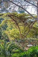 Acacia abyssinica (Nyanga Flat Top) at San Diego Botanic Garden