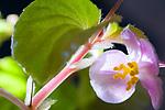 Begonia Blossom