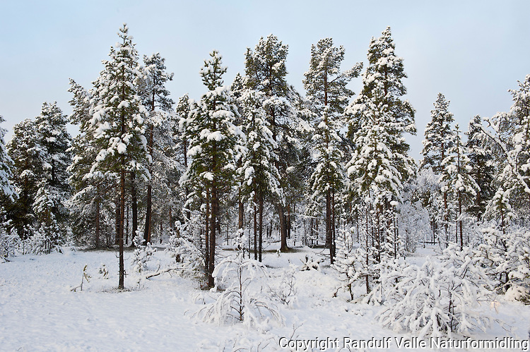 Første snø i furuskogen i Anarjokka. ----- First snow in pine forest.