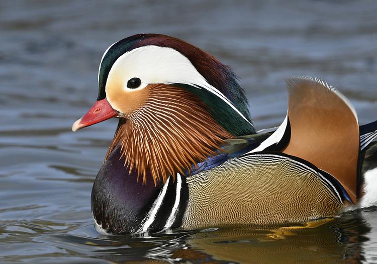 Mandarin Duck - Aix galericulata - male