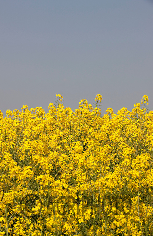 Oil Seed Rape in flower