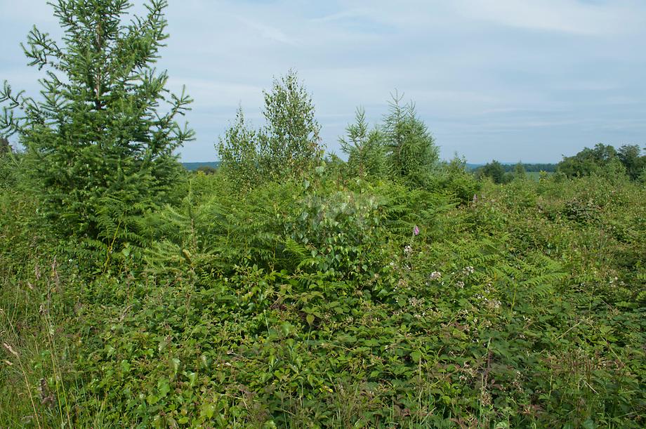 Hazelmuis biotoop, kaalslag vegetatie