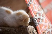 Afrique/Afrique du Nord/Maroc/Fèz: chaton et tapis