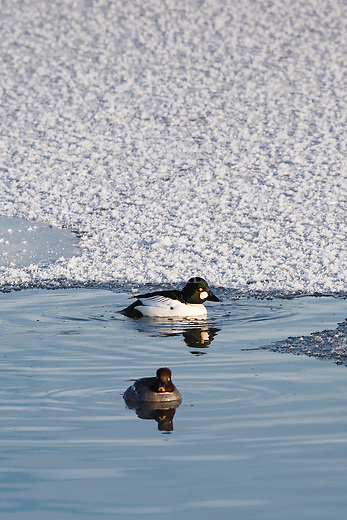 Goldeneye Drake and hen on a frozen pond in Montana