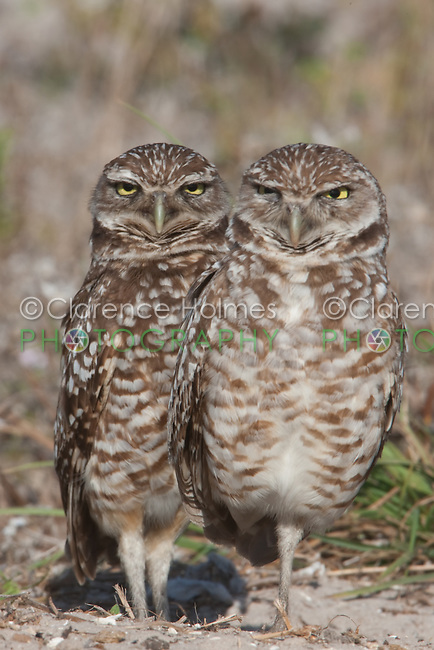 A pair of Burrowing Owls (Athene cunicularia) standing near their burrow