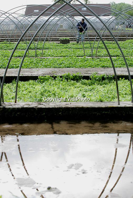 Foto: VidiPhoto..UBBERGEN - Bij de enige waterkerskwekerij in Nederland, De Klispoel in Ubbergen bij Nijmegen, wordt de oogst binnengehaald. De Klispoel maakt gebruik van 4000 jaar oud bronwater, de enige mogelijkheid om een goede kwaliteit waterkers te leveren. Vorst en ziekten hebben bovendien geen vat op dit biologische produkt. De exclusieve en relatief onbekende groente wordt in Nederlands steeds vaker geconsumeerd, maar is in de rest van Europa al op grote schaal verkrijgbaar. Import is lastig omdat waterkers maar korte tijd houdbaar is.