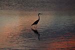 Yala National Park Sri Lanka<br /> Indian Pond Heron