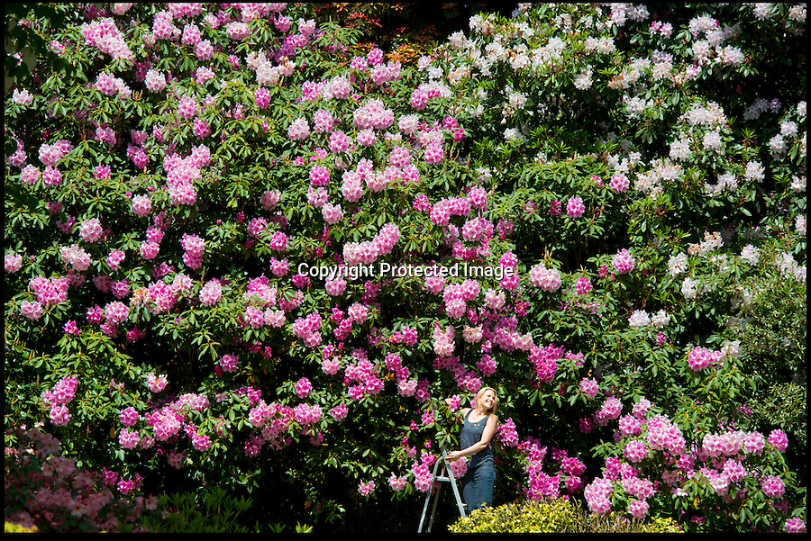 BNPS.co.uk (01202 558833)<br /> Pic: PeterWillows/BNPS<br /> <br /> Gardener Tracy Fraser in the gardens of Minterne House.<br /> <br /> Minterne Gardens are experiencing a 'once in a lifetime' flowering of all their Rhododendrons at once - with 'millions' of blooms lighting up the little known valley in the heart of Dorset. <br /> <br /> The harsh winter and spring delayed the early flowering varieties that normally bloom in April and they have now come out in unison with the later flowers. <br /> <br /> Minterne contains one of Britains most diverse and historic collections of rare rhododendrons and azalea's brought back by the great Victorian plant hunters in the late 19th and early 20th century and the unique collection is to be featured on this weeks Gardeners World.
