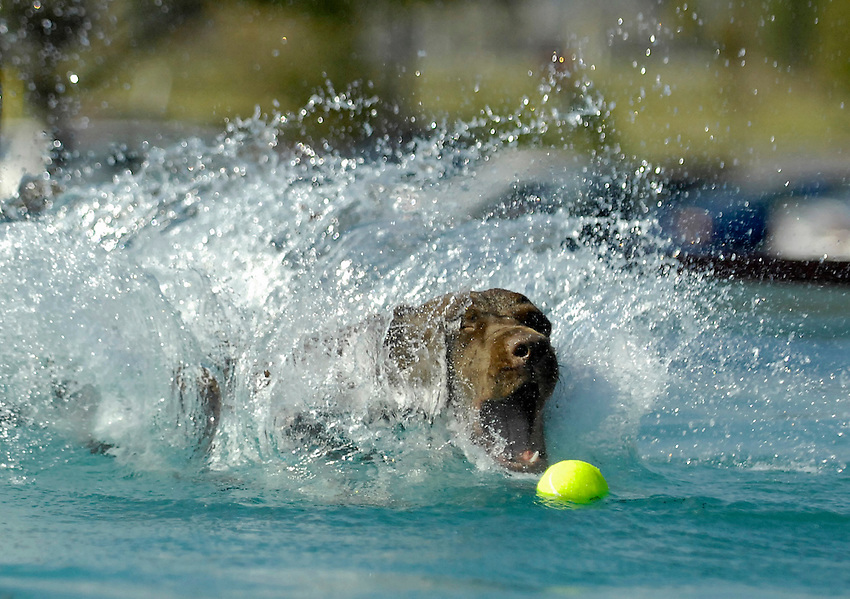 Katie, a 13 month old chocolate lab owned by Jimmy Eye from Huntsville dives in after her tennis ball.  Super Retriever Series dog event at Target Friday afternoon.  Super Fly Qualifier with dogs jumping into pool from dock for distance.  Bob Gathany / The Huntsville Times