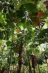 Licuala palms (Licuala ramsayi)