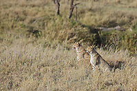 Cheetah brothers plan their stalk on a reed buck