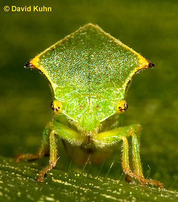 1109-0810  Buffalo Treehopper, Ceresa alta © David Kuhn/Dwight Kuhn Photography.