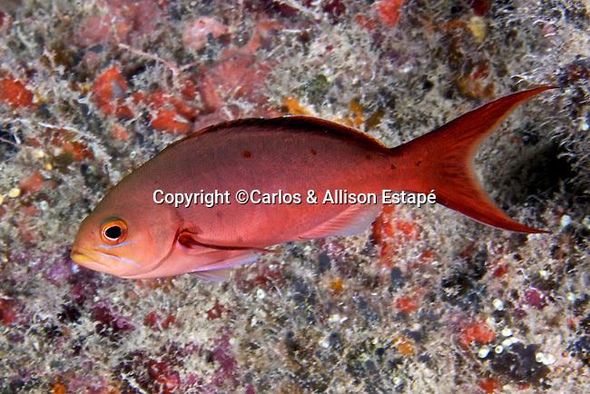 Paranthias furcifer, Atlantic creolefish, Florida Keys