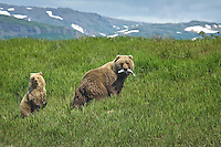 A Brown Bear sow retreats to the grassy bank of Mikfik Creek with her cub after catching a Salmon. Summer in Southwest Alaska.