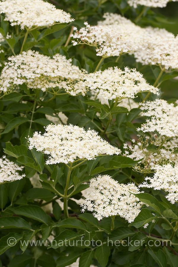 Schwarzer Holunder, Sambucus nigra, Fliederbeeren, Fliederbeere, Common Elder, Elderberry, Sureau commun, Sureau noir, Blüten