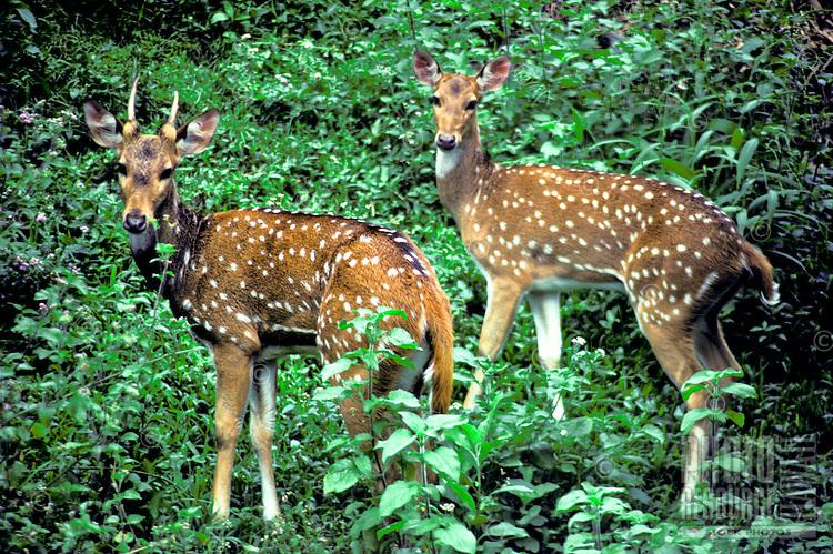 Axis deer, Molokai,