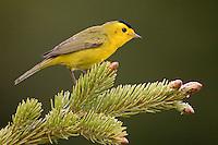 Wilson's Warbler (Wilsonia pusilla) Breckenridge, Colorado