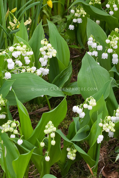 fragrant flowers fragrance garden stock photos  images  plant, Natural flower