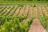 Domaine des Grecaux in St Jean de Fos. Montpeyroux. Languedoc. Calcareous limestone plateau called rendzine. France. Europe. Vineyard. Soil with stones rocks. Calcareous limestone.