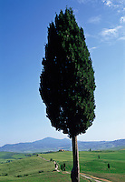 Italy,Pienza,Tuscany, cypress tree and Tuscan landscape