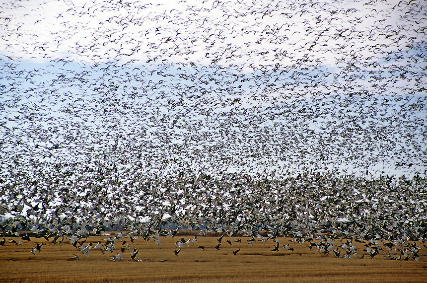 Huge snow goose flock near Humnoke, Arkansas.