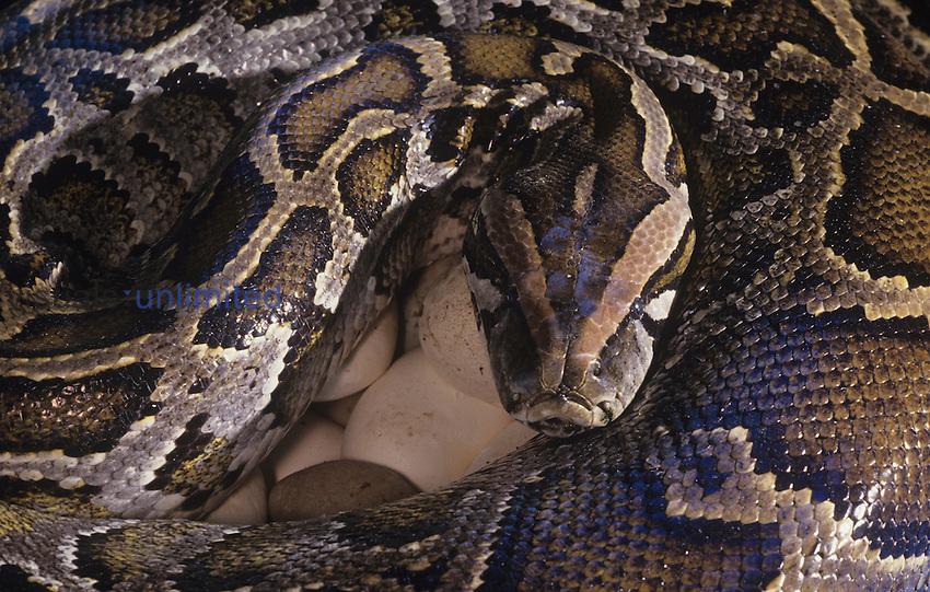 Burmese Python Snake (Python molurus bivittatus) incubating eggs.