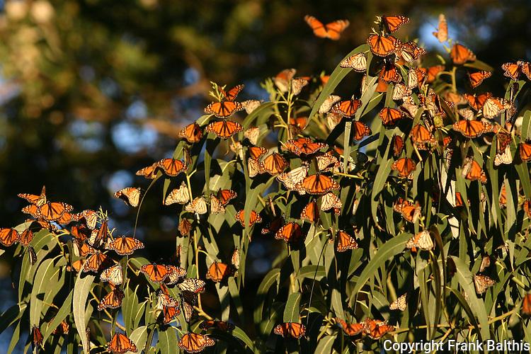 monarch butterflies on eucalyptus tree