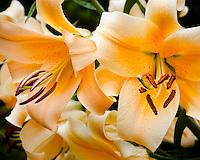 Vashon Island, WA: 'Eudoxia' - Orienpet Hybrid Lily